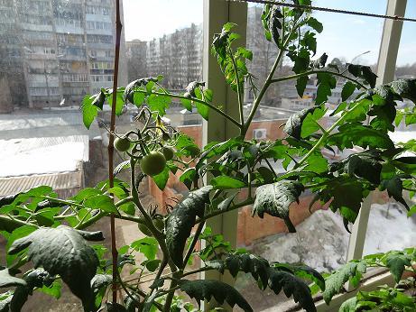 Как я выращивал рассаду томатов, перцев, баклажан с досветко.